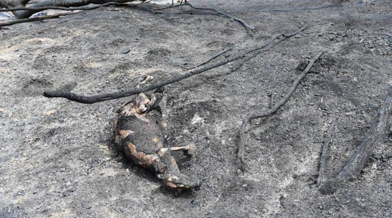 YA SON MIL MILLONES DE ANIMALES MUERTOS POR LOS INCENDIOS EN AUSTRALIA
